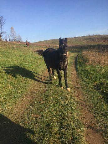 Кінь, Продам  Кобилу, вага 450 кілограм