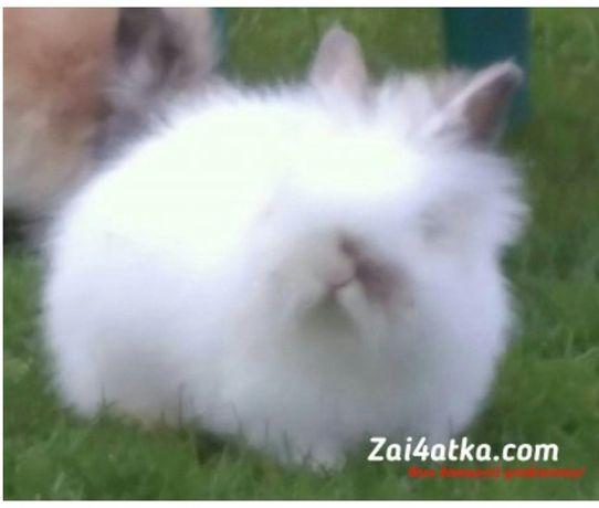 Кролики карликові, декоративні ангорочки.
