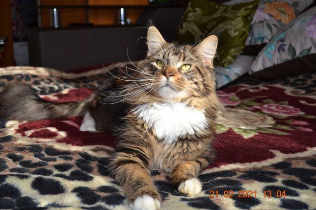 Кот Мейн кун ждёт кошечек на вязку.
