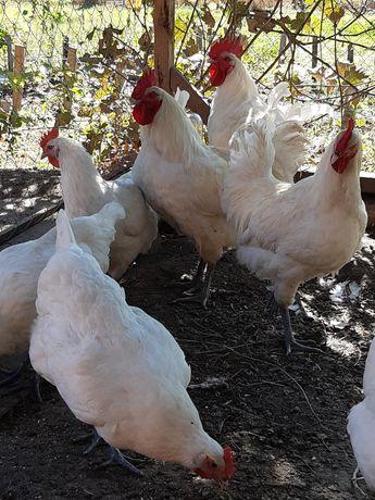 Бресс Гальские куры инкубационное яйцо