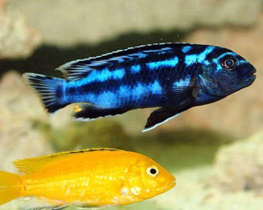 Melanochromis Johannii Pyszczak Johanna Malawi od ręki Gdańsk