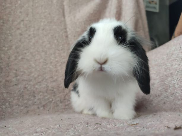 Króliczek królik króliczki Mini Lop Panda