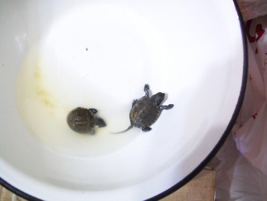 Продам черепаху тільки в надійні добрі люблячі руки