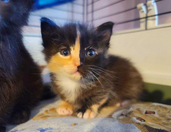 Котенок Стелла дуже незвичайне забарвлення, рідке явище 1,5м.