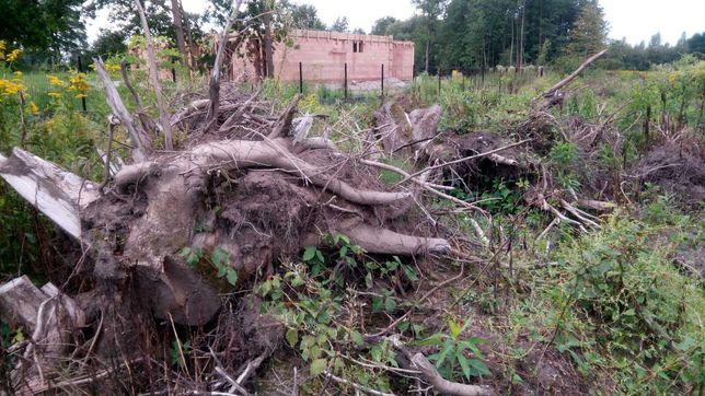 Korzenie drzew - dęby akacje