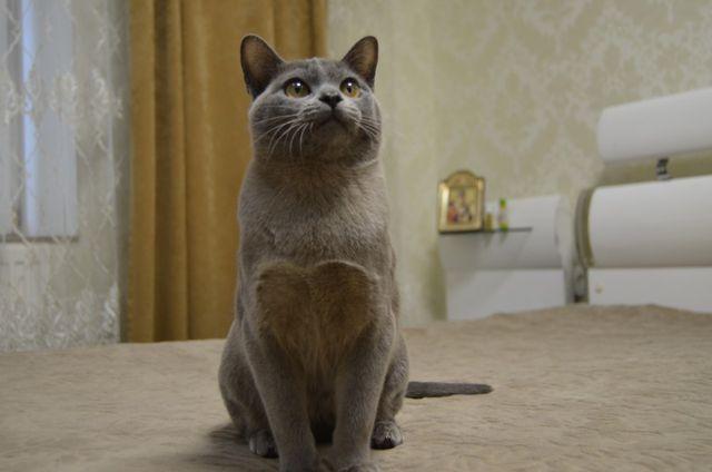 БУРМА-КІТ. Бурма-кот. В разведение