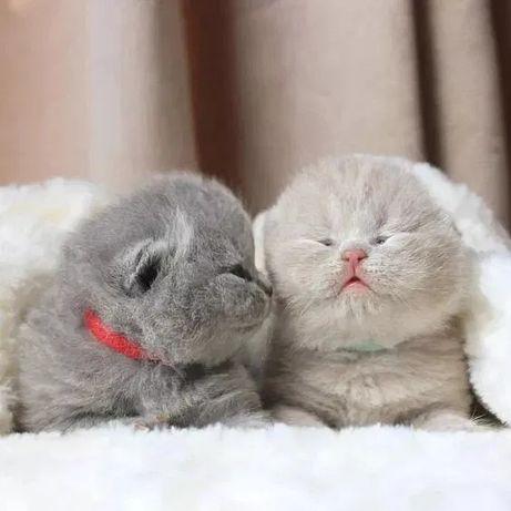 Прямоушки Одесса клубные шотландские котята плюшевый не британский