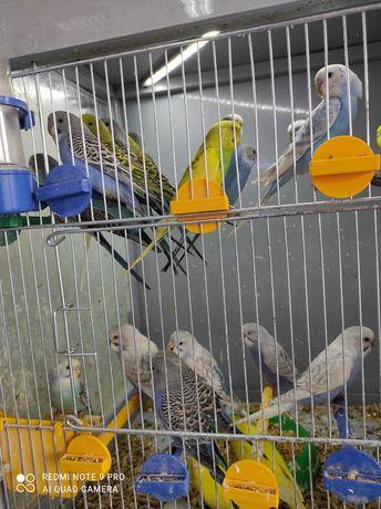 Волнистые попугаи  и аксессуары к ним .
