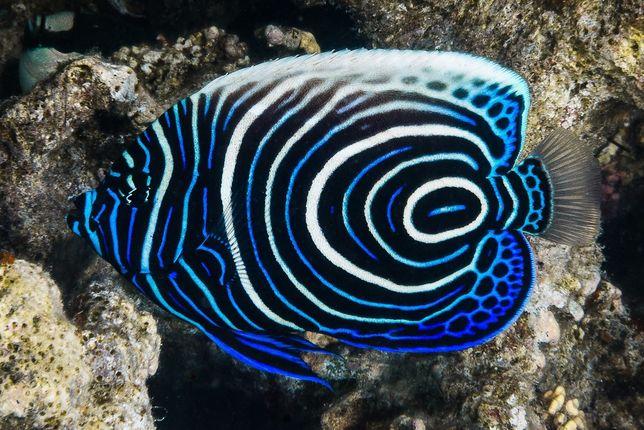 Akwarium morskie - Pomacanthus imperator.