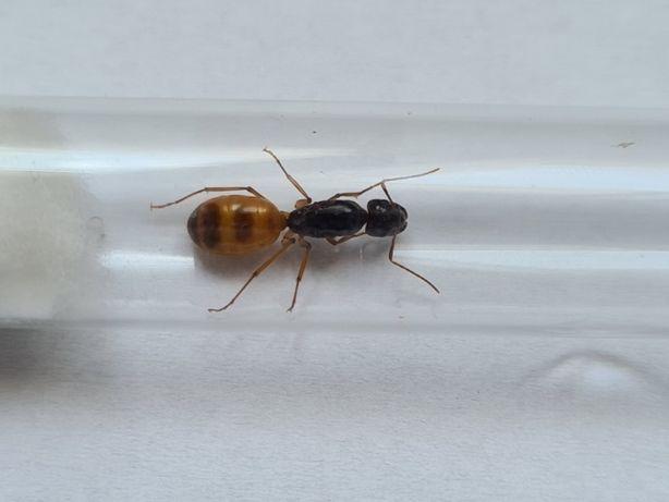 Camponotus Fedtschenkoi Q rojkowe (2020) Mrówki do Formikarium