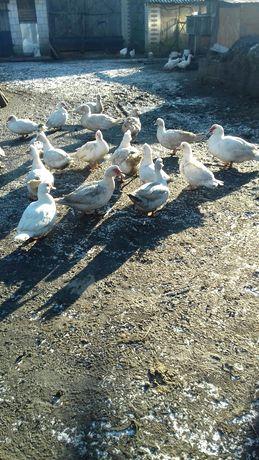 Sprzedam kaczki