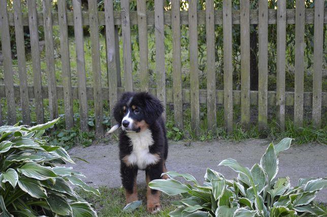 Berneński Pies Pasterski - przepiękne szczeniaki