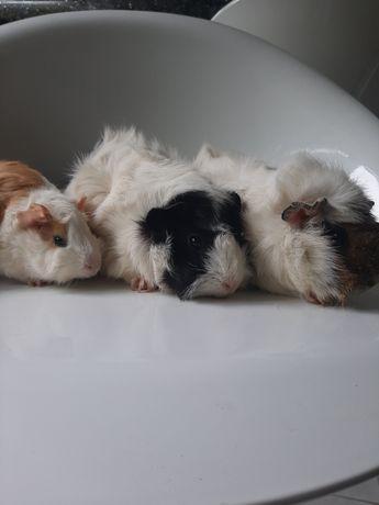 Свинки морські,різних порід.