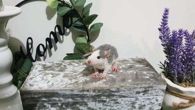 Szczur Szczury Szczurki Duży wybór kolorów