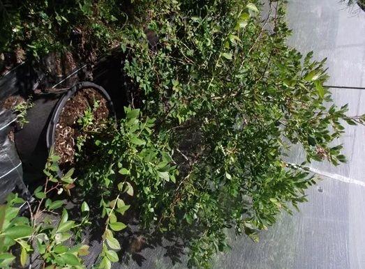 Borówka Amerykańska sadzonka 100cm