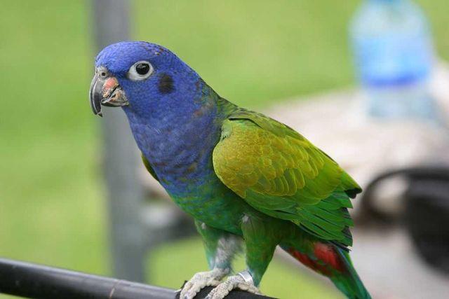 Купити/купить сінеголового красногузого папугу