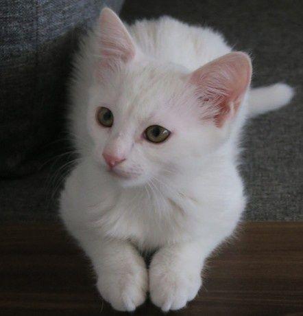 Gatos brancos para adoção