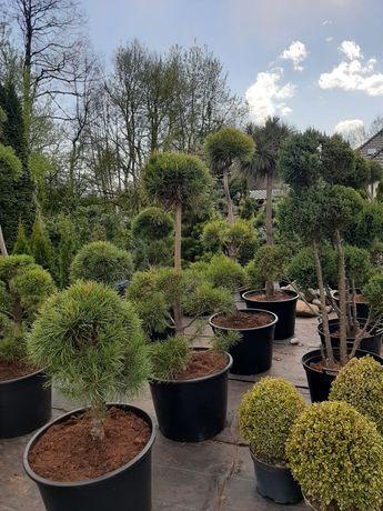 Krzewy formowane bonsai