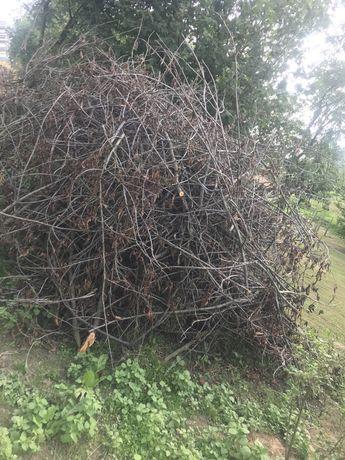 Gałęzie orzech włoski czereśnia