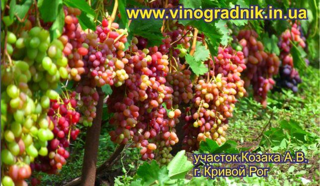 Саженцы винограда элитные сорта