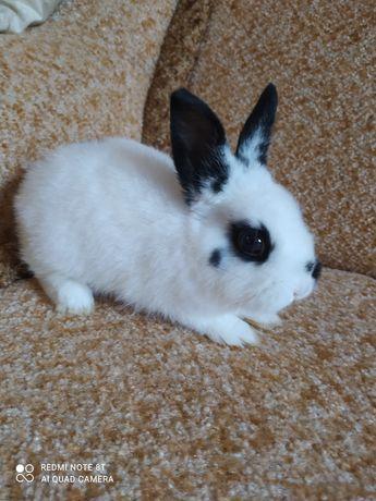 Карликовый прямоухий кролик, декоративный кролик.