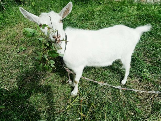 Коза молочноi породи