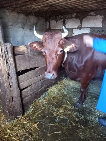 Продаю дойную корову