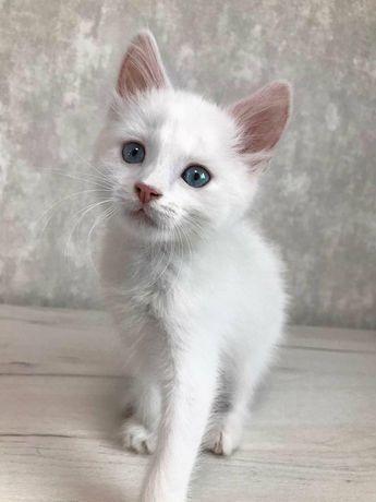 Отдам белого котёнка, мальчик ,2 месяца