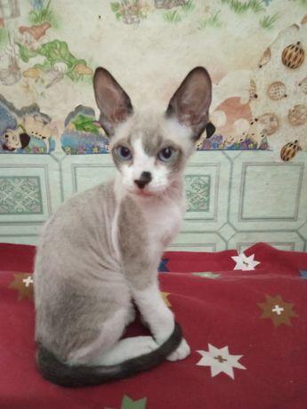Котенок Донской Сфинкс. Голубоглазый мальчик.