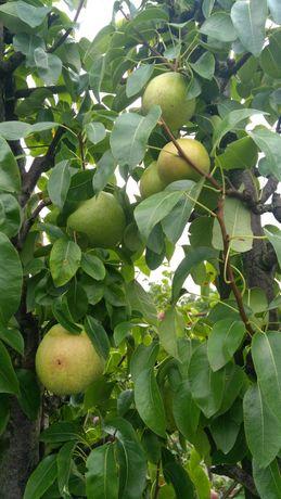 Саженцы и черенки яблонь, груш; кизил, персики, самшит,хурма,шелковица
