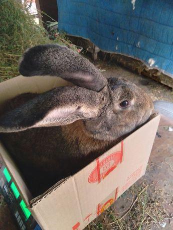 Продам кроликов великанов
