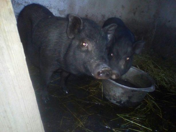 Срочно вьетнамские свиньи