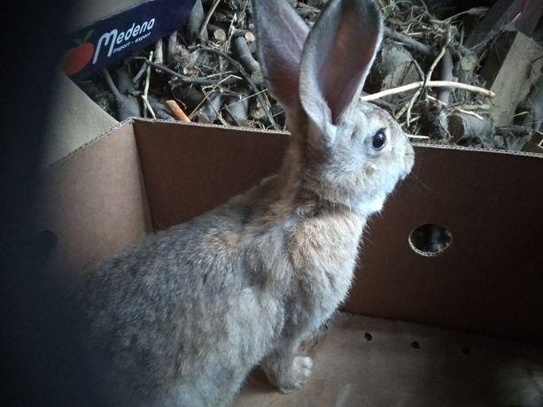 Młody samiec królika