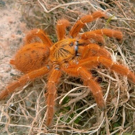 Pterinochilus Murinus ptasznik pająk terrarium