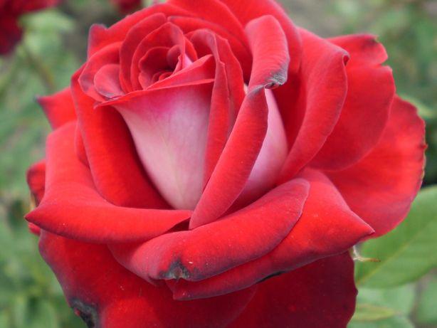 Саженцы роз Луганск