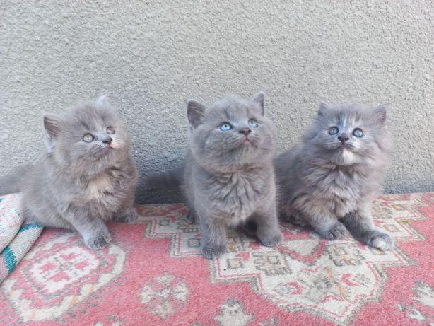Шотландські котики