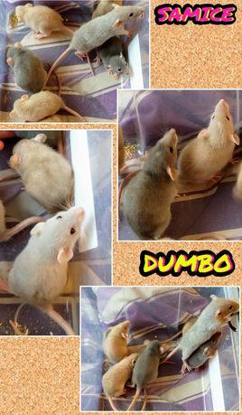 Szczurki Dumbo Rasowe młode Samiczki