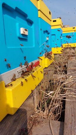 Odkłady pszczele na ramce Dadant, buckfast 2021