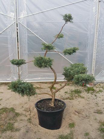 Jałowiec Juniperus Grey Owl formowany bonsai