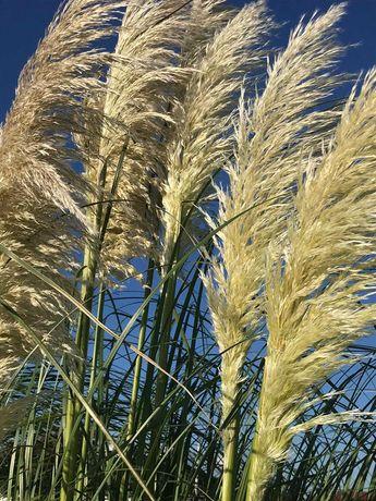 Trawa pampasowa suszona