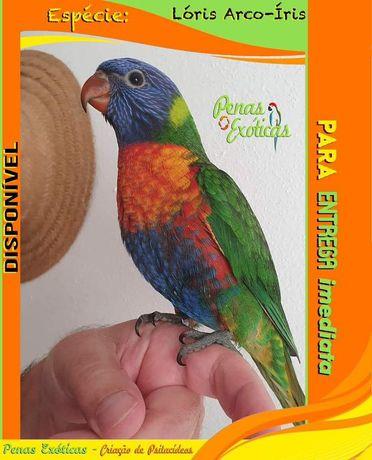 Aves criadas à mão para animal de estimação/companhia