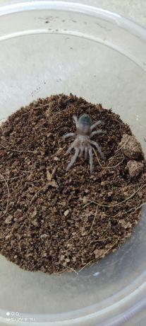 Ptaszniki Lasiodora parahybana L4