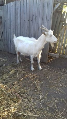 Продам дойную козу.