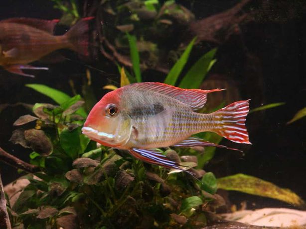ziemiojadgeophagus tapaios red hed -3,5-6,cm