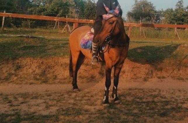 Dzierżawa konia 145cm hucuł