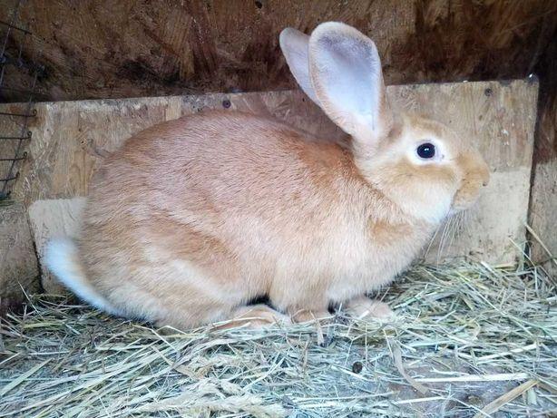 Кролики породы Бургундская