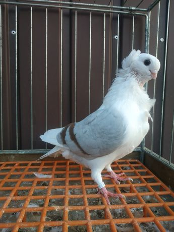 Mewka staroniemiecka mewki staroniemieckie gołąb ozdobny gołębie ozdob