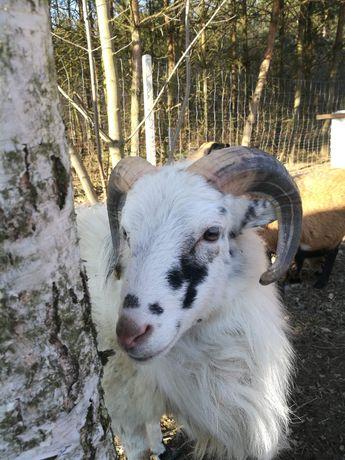 Owca kameruńska, tryk kameruński ,Cap