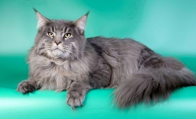 Брутальный кот Амур ждет дам!