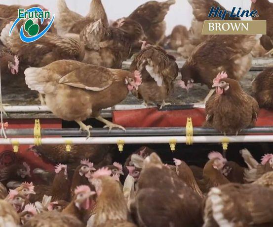 Kura nioska  z jajkiem   18 Tygodniowa   Darmowy transport !